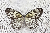 Paper Kite Butterfly on Silver Pheasant Feather Pattern Photo by Darrell Gulin
