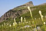 Montana, Glacier NP, Bear Grass Along Highline Trail Photo by Jamie & Judy Wild