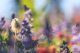 Alpine Wildflowers, Mt. Rainier NP, Washington State, USA Summer Photo by Stuart Westmorland