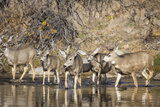 Wyoming, Sublette Co, Mule Deer Herd Crossing a River in Autumn Photo by Elizabeth Boehm