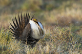 Sage Grouse, Courtship Display Photo by Ken Archer