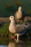 Mourning Doves (Zeaida Macroura) Pair Photo by Larry Ditto