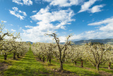 USA, Oregon Hood River, Valley. Apple Orchard Near Hood River Photo by Richard Duval