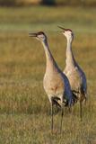 Sandhill Cranes Calling Photo by Ken Archer