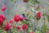 Orchard Oriole Male Feeding on Bottle Brush Flower Nectar Photo by Larry Ditto