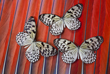 Paper Kite Tropical Butterfly on Scarlet Macaw Tail Feather Design Photo by Darrell Gulin