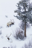 Rocky Mountain Bull Elk During Snowstorm Photo by Ken Archer