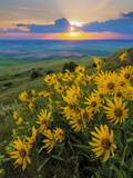 Washington State, Palouse Hills. Landscape with Douglas' Sunflowers Foto von Don Paulson