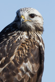 Rough-Legged Hawk Photo by Ken Archer