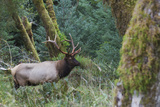 Roosevelt Bull Elk Photo by Ken Archer