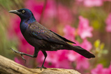 USA, North Carolina, Guilford County. Close-up of Common Grackle Photo by Cathy & Gordon Illg