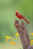 Northern Cardinal (Cardinalis Cardinalis) Male Perched on Log Photo by Larry Ditto