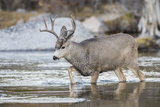 Wyoming, Sublette, Mule Deer Buck Crossing River During Fall Migration Photo by Elizabeth Boehm