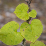 USA, Tennessee. Heart-Shaped Vine Leaves Photo by Don Paulson