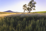 Oak Tree Near Field of Oxeye Daisies and Wheat, Palouse, Washington Photo by Stuart Westmorland