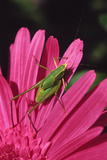 USA, Oregon, Portland. Fork-Tailed Bush Katydid on Gerbera Flower Photo by Steve Terrill