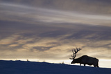Rocky Mountain Bull Elk, Winter Sunset Photo by Ken Archer