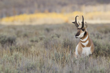 Pronghorn Antelope Buck Photo by Ken Archer
