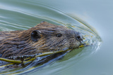 Beaver with Willow Branch, Oxbow Bend, Grand Teton NP, WY Photo by Michael Qualls