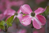 USA, Oregon. Pink Dogwood Blossom Close-up Foto av Jean Carter