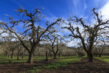 USA, Oregon, Hood River Valley, an Orchard Photo by Rick A Brown