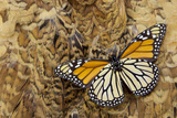 Underside Monarch Butterfly on Ring-Necked Pheasant Feather Design Photo by Darrell Gulin