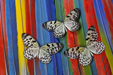 Paper Kite Tropical Butterfly on Macaw Tail Feather Design Photo by Darrell Gulin