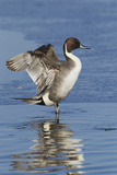 Pintail Drake on Ice Photo by Ken Archer