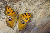 Pansy Butterfly on Egyptian Goose Feather Design Photo by Darrell Gulin