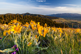 Balsam Root Flowers Above Missoula Valley, Missoula, Montana Photo by James White