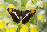 California Sister Butterfly on Yellow and White Snapdragon Flowers Photo by Darrell Gulin