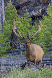 Rocky Mountain Bull Elk, Velvet Antlers Photo by Ken Archer