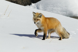 Red Fox in Winter Photo by Ken Archer