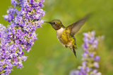 Ruby-Throated Hummingbird (Archilochus Colubris) Male Feeding Photographie par Larry Ditto