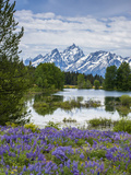 Lupine Flowers with the Teton Mountains in the Background Photo by Howie Garber