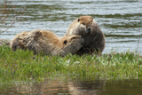 Beaver Pair Resting Photo by Ken Archer