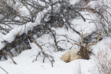 Rocky Mountain Bull Resting During Snowstorm Photo by Ken Archer
