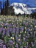 USA, Washington State, Paradise Park. Field of Lupine and Bistort Photo by Steve Terrill