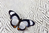 Hypolimnas Usambara Butterfly on Silver Pheasant Feather Pattern Photo by Darrell Gulin