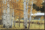 Birch Beauty Stretched Canvas Print by Mike Jones