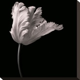 Parrot Tulip Stretched Canvas Print by Michael Harrison