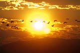 A Flock of Geese Fly at Sunrise in Boise, Idaho, USA Photographic Print by David R. Frazier