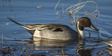 USA, Oregon, Baskett Slough Nwr, Northern Pintail (Anas Acuta) Drake Photographic Print by Rick A. Brown