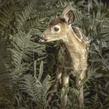 Minnesota, Sandstone, Close Up of White Tailed Deer Fawn in the Ferns Photographic Print by Rona Schwarz