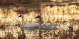 USA, Oregon, Baskett Slough Nwr, Tundra Swans (Cygnus Columbianus) Photographic Print by Rick A. Brown