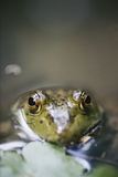 Bullfrog, Close-Up Photographic Print by David R. Frazier