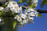 Ornamental Pear Tree in Bloom, Harrison Boulevard, Boise, Idaho, USA Photographic Print by David R. Frazier