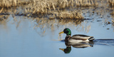 USA, Washington, Ridgefield Nwr, Mallard (Anas Plathyrhynchos) Drake Photographic Print by Rick A. Brown