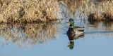 USA, Washington, Ridgefield Nwr, Mallard Drake Quacking Photographic Print by Rick A. Brown