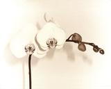 Orchid Dawn I Giclee Print by Katja Marzahn